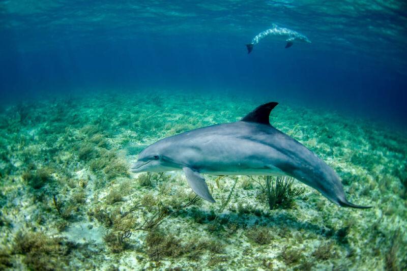 Dolphins in the Wild - Aruba